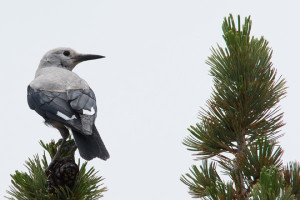 Clark's Nutcracker by Laura Flett