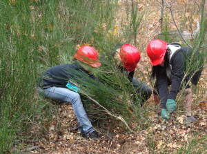 Dunsmuir Elementary School students cooperatively work to remove Scotch Broom.